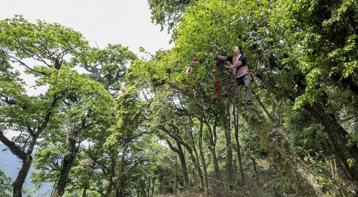 모시 산 (Mồ Sì San)에서의 고대 차를 따기 위해 산을 올라가다