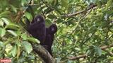 Việt Nam - Trung Quốc chung sức bảo tồn loài vượn Cao Vít phương Đông