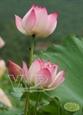 Lotus Flowers from Hanoi
