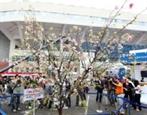 桜祭りで賑わうハノイ