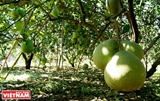 Pomelos de Tan Trieu
