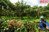 Growing Ido Longan in Thoi An