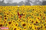Brillante campo de girasol en Nghia Dan