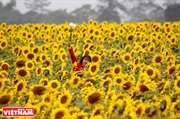 Nghia Dan Sunflowers Valley Attracts Beauty Seekers