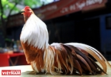 Pasión por los gallos ornamentales en Hanoi