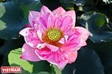 宁楚荷塘的珍稀莲花