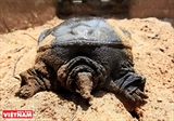 Raising Trionychild Turtles in Phu Xuyen