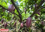An Effective Model for Developing Cocoa Trees