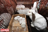 Getting Rich from Raising Bunnies in Vietnam