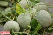 El cultivo de melón de alta tecnología eleva los ingresos de los agricultores