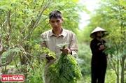 Thương hiệu chùm ngây MoriS và bài toán đầu ra cho nông sản Việt Nam
