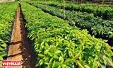 WASI - Sản xuất cây giống cà phê thích ứng với biến đổi khí hậu