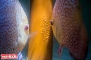 Làm giàu từ cá dĩa