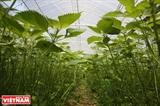 ベトナムのシソの葉が日本市場に