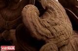 Nông Lâm lingzhi une marque de champignon vietnamienne