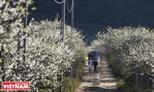 Moc Chau vallée des fleurs.