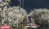 Moc Chau estepa de miles de flores