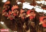 Vang tiếng gà xứ Tân Lân