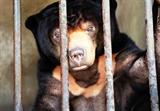 Cứu hộ cá thể gấu chó sau 15 năm nuôi nhốt ở Tây Ninh