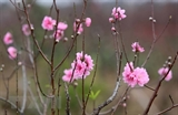 Peach blossoms show off beauty in Hanoi