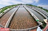 Fish farmers benefit from in-pond raceway aquaculture