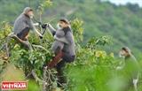 통킹들창코원숭이 계절의 선 짜 (Sơn Trà) 반도