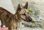 Tiềm năng kinh tế từ giống chó Phú Quốc