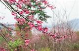 Dien Bien hosts cherry blossom festival