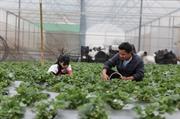 Vườn dâu tây 4000 mét vuông ở Hà Nội