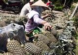 南部の有名なタックカウ(Tac Cau)パイナップル
