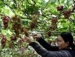 Ninh Thuan vineyard experience pulls in visitors