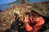 À Phu Yên lélevage de homards rapporte gros
