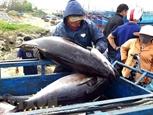 Египет становится перспективным рынком для вьетнамского консервированного тунца