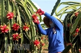 Vietnams red flesh dragon fruit shipped to Australia