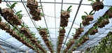 Thôn Bến phát triển nghề trồng lan