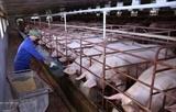 Сельскохозяйственный сектор требует решительных мер для предотвращения повторного возникновения АЧС