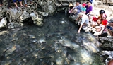 Mysterious stream of sacred fish