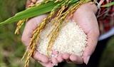 Về miền Gạo thơm Bối Khê