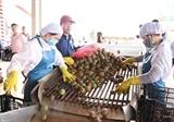 Жалай экспортирует 100 тонн маракуйи в ЕС в рамках EVFTA