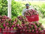 Географическое указание помогает драгонфруту Биньтхуаня завоевывать зарубежные рынки