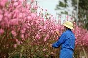 Hoa đào Nhật Tân rộn ràng với Tết
