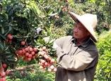 Вьетнам готов контролировать экспорт личи в Японию
