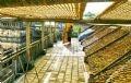 Những tấm phên liếp được người dân làng Cự Đà (xã Cự Khê, huyện Thanh Oai, Hà Nội) sử dụng để phơi bánh đa rất hiệu quả.
