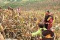 畑へトウモロコシを収穫に行く家族