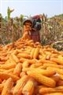 モン民族のトウモロコシ畑は面積が2~3haであるため、早く運べるように収穫したトウモロコシを道の側に集める