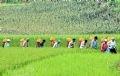米とトウモロコシはモン民族の人々の大切な食糧