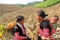 The maize harvest provides a chance for locals in different hamlets to meet and help one another.