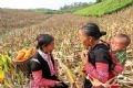 トウモロコシを収穫するシーズンは村人が互いに助け合う機会でもある