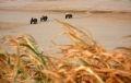 Hai bên bờ sông đã bị cát hóa hoàn toàn nên những người dân trồng quất, đào ở phường Tứ Liên, quận Tây Hồ phải huy động xe bò đào đất mùn ở giữa lòng sông để chăm bón cây phục vụ thị trường vào vụ Tết.