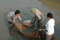 網の中から鯉をとる村人
